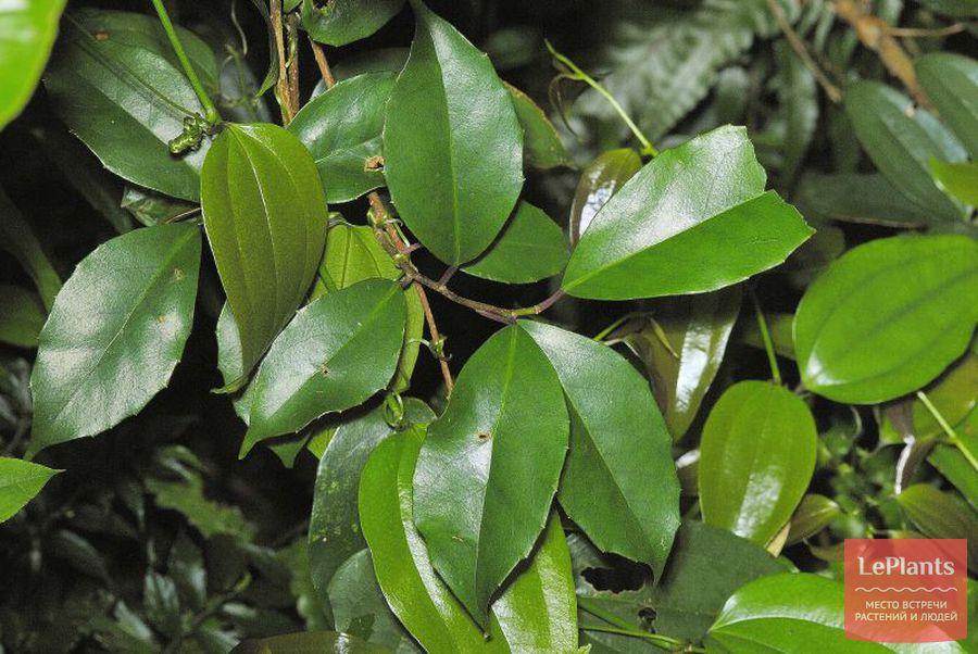Листья Лимонника