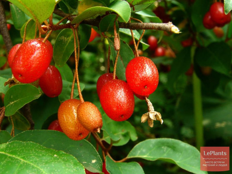 Плоды Лоха