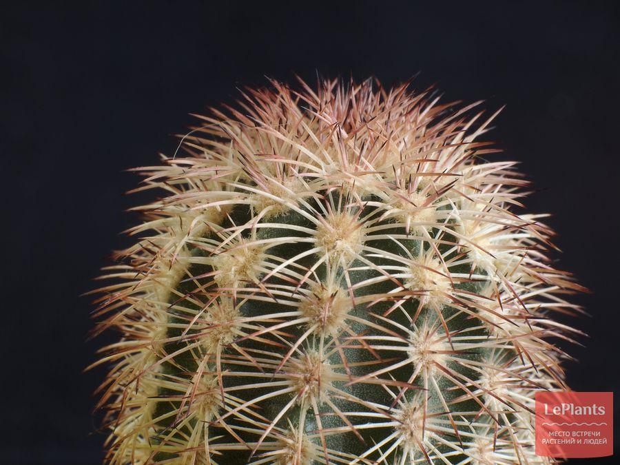 Эхиноцереус шерстистоколючковый