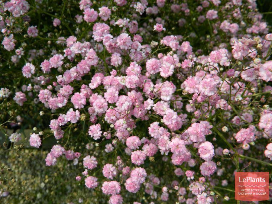 Gypsophila paniculata 'Flamingo'