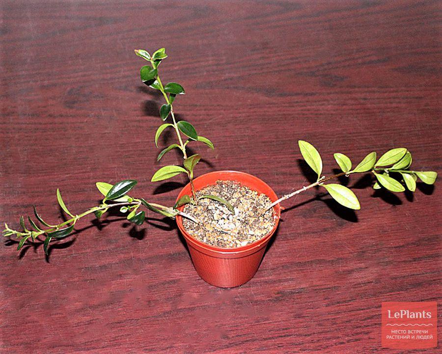 как выращивать колумнею из черенков