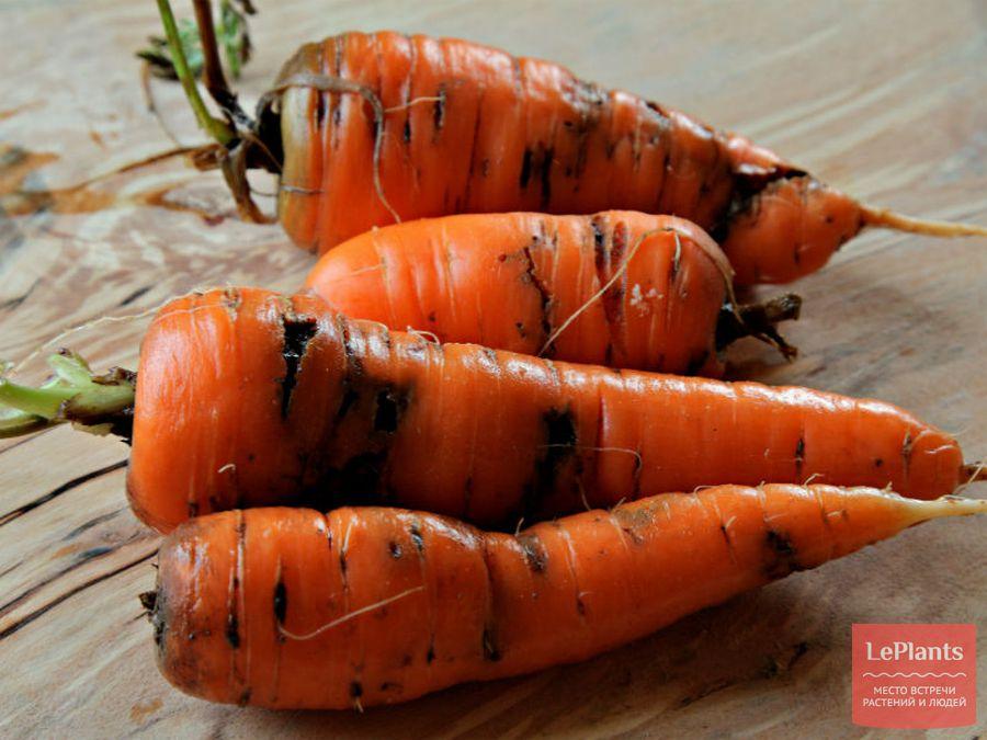 Пораженный морковной мухой плод