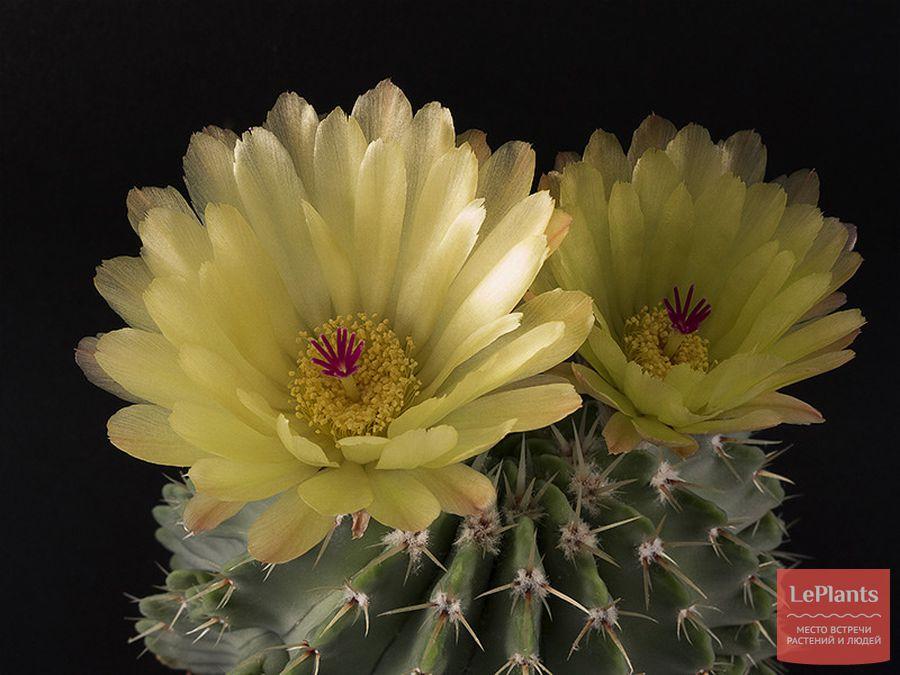 Цветок Пародии Бёйнинга