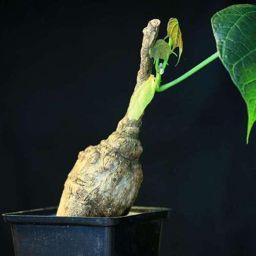 Firmiana colorata — Каудексное растение Фирмиана окрашенная