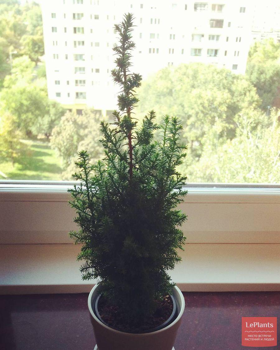 выращивание кипарисовика туеобразного в помещении