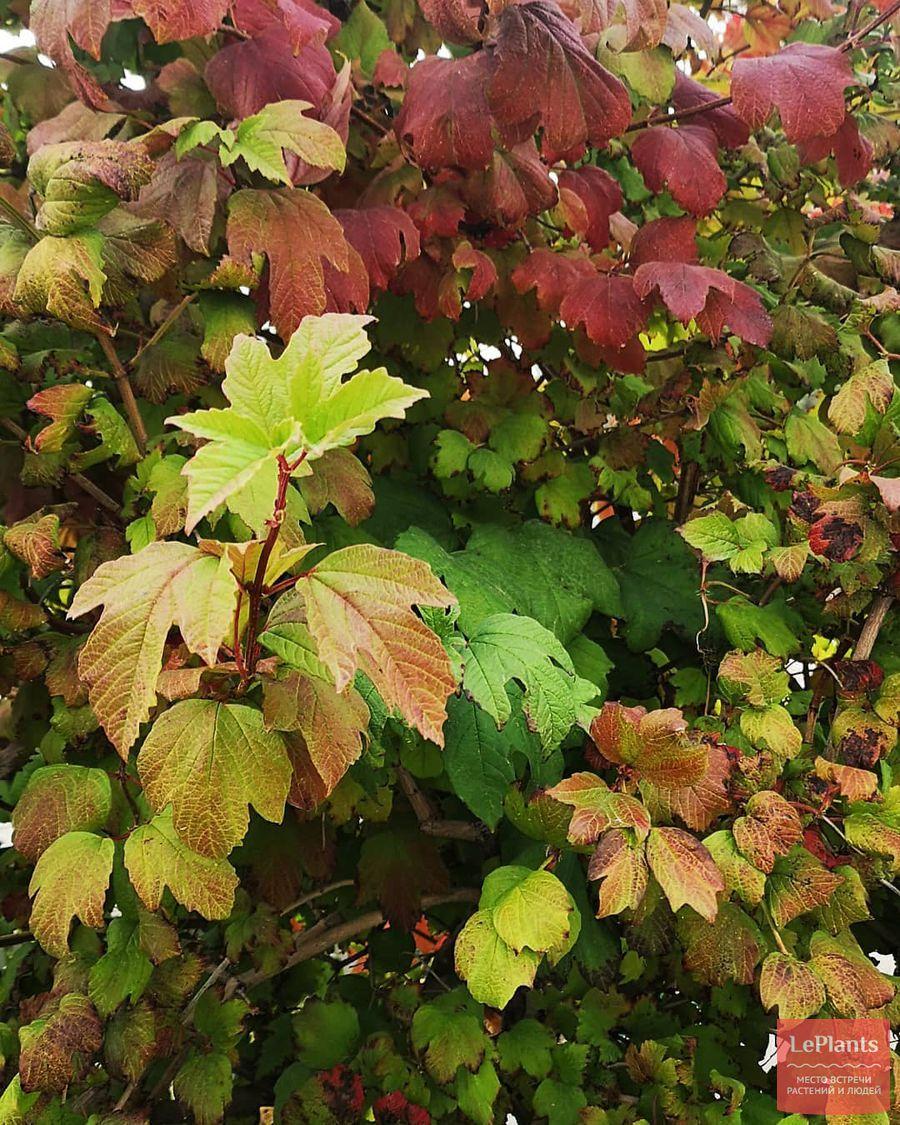 Листья Калины обыкновенной