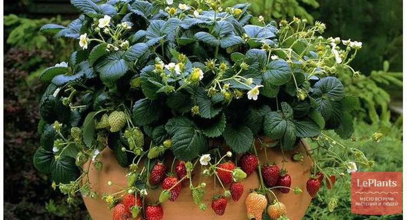Правильная посадка земляники семенами: секреты успешного проращивания и ухода за рассадой