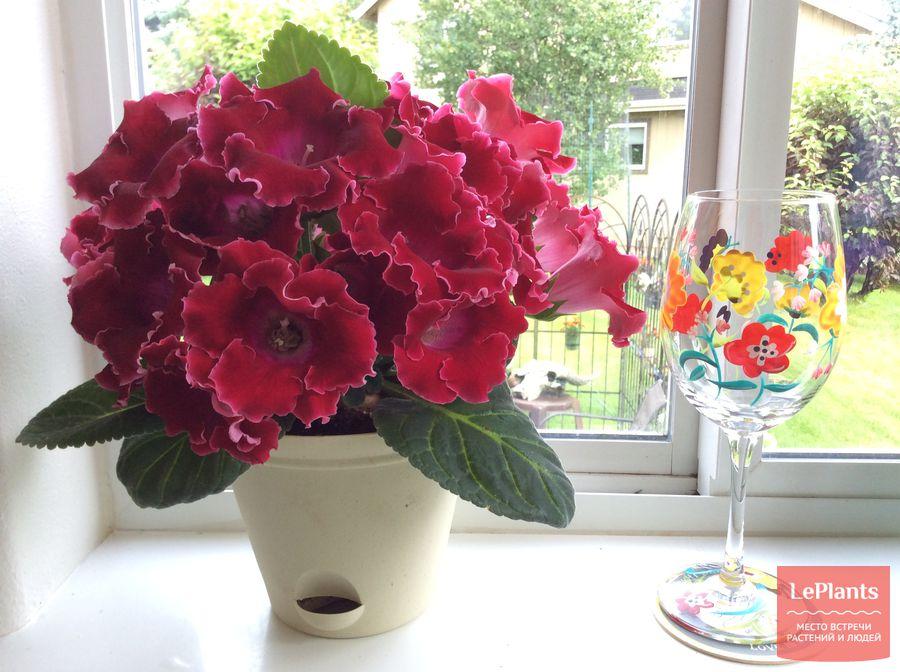выращивание домашней синнингии