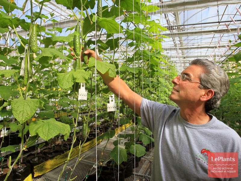 Урожайность огурцов с одного куста растения в теплице с одного кв метра