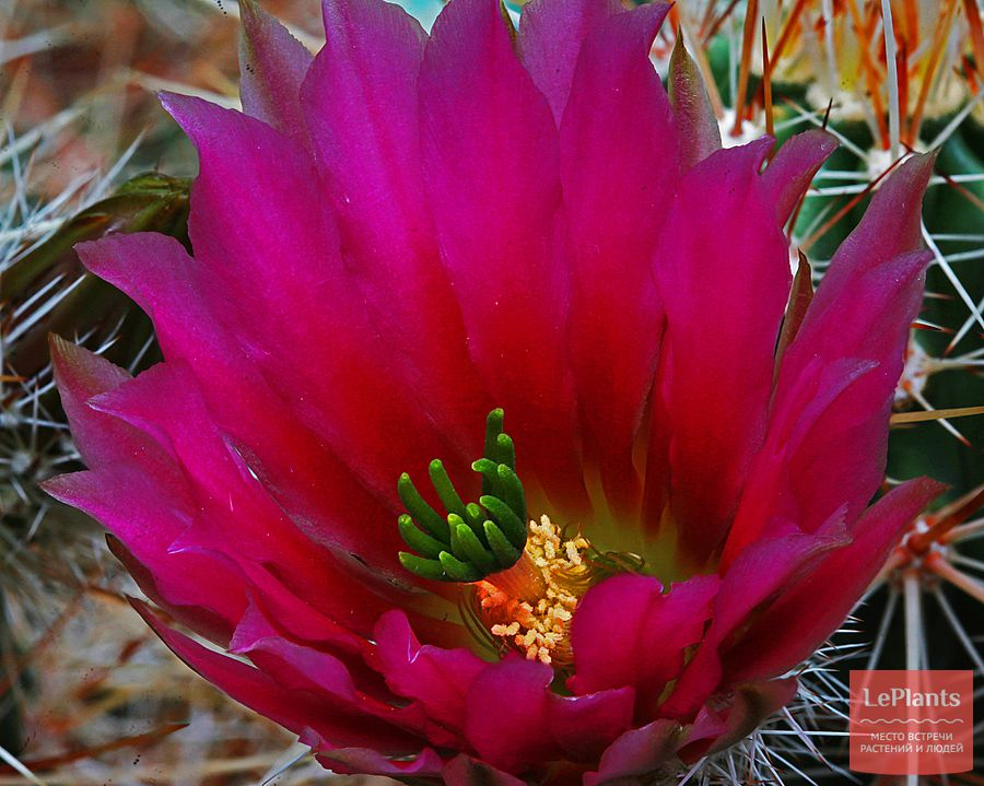 цветок Эхиноцереуса Энгельманна