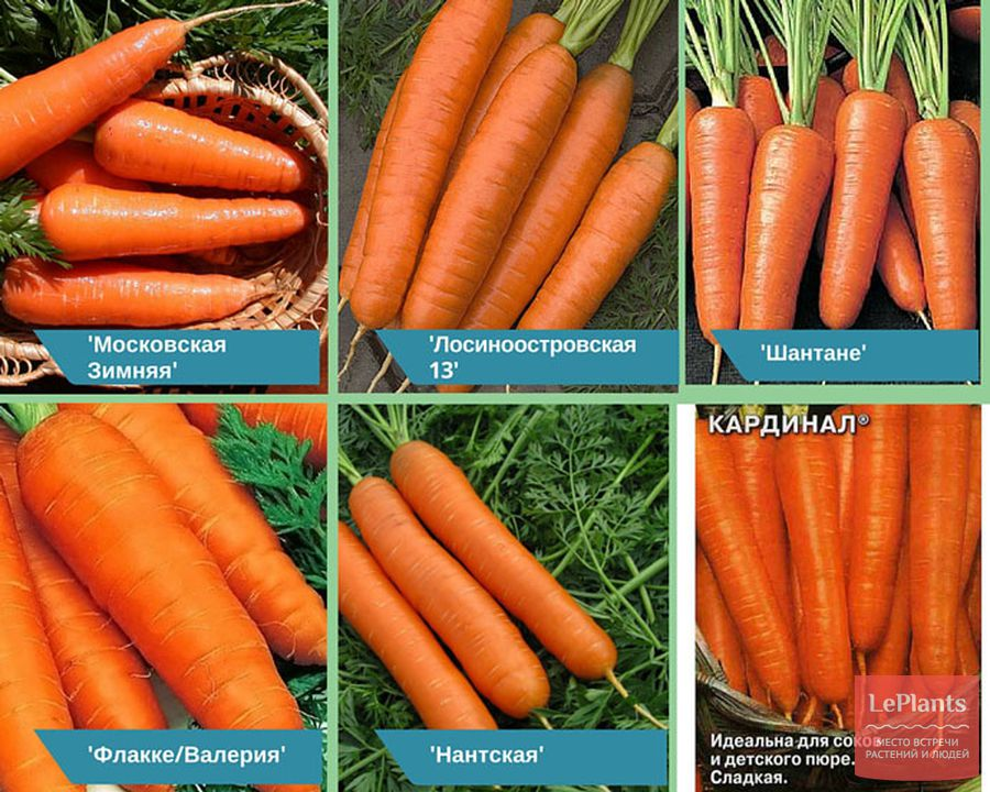 сорта моркови для хранения на зиму