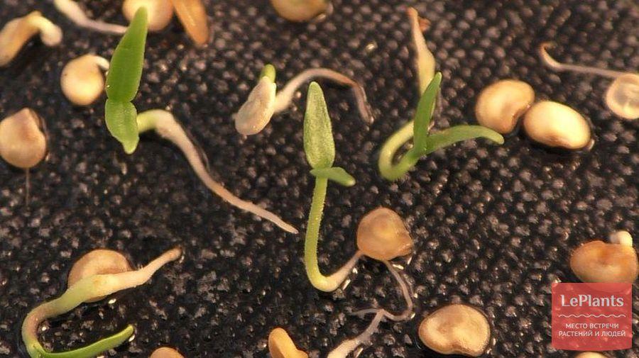 выращивание перца чили из семян