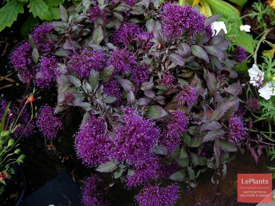 трахелиум — описание, выращивание, уход