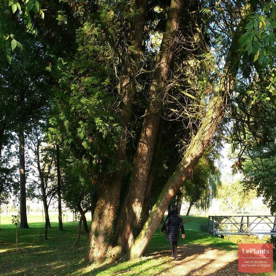 фото, описание, выращивание кипарисовика Лавсона